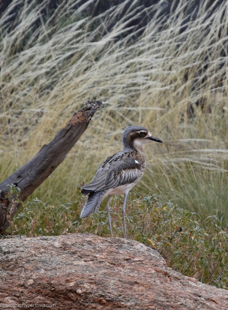 Alice Springs Desert Park - another bird better (1 of 1)