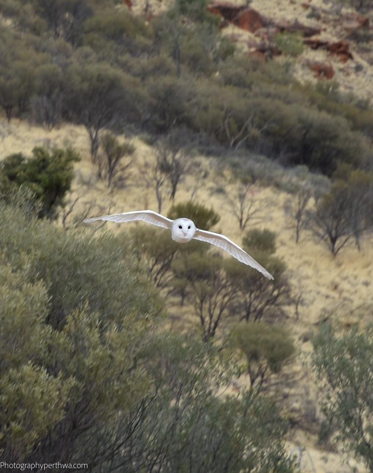 Alice Springs Desert Park - barn owl in flight closer (1 of 1)