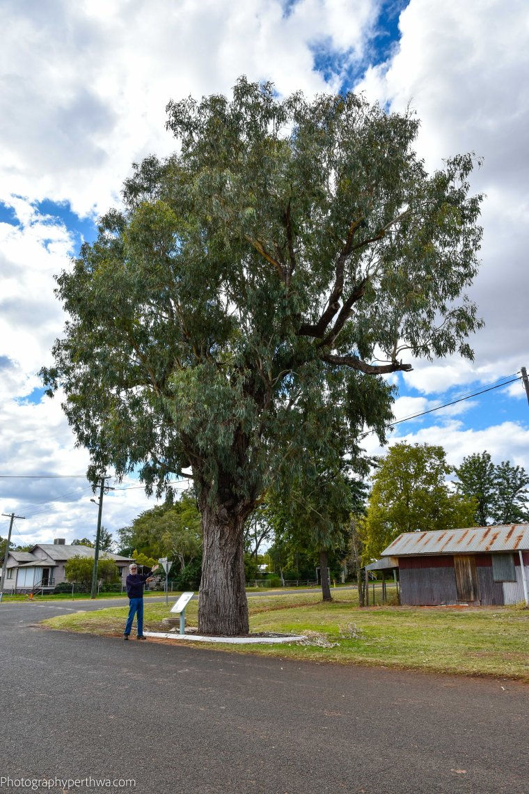Kenniff tree - coolabah tree (1 of 1)