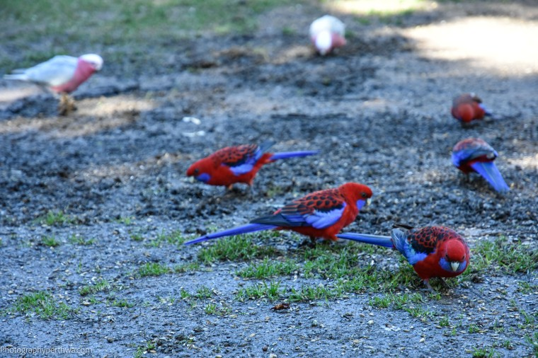Rosellas (1 of 1)