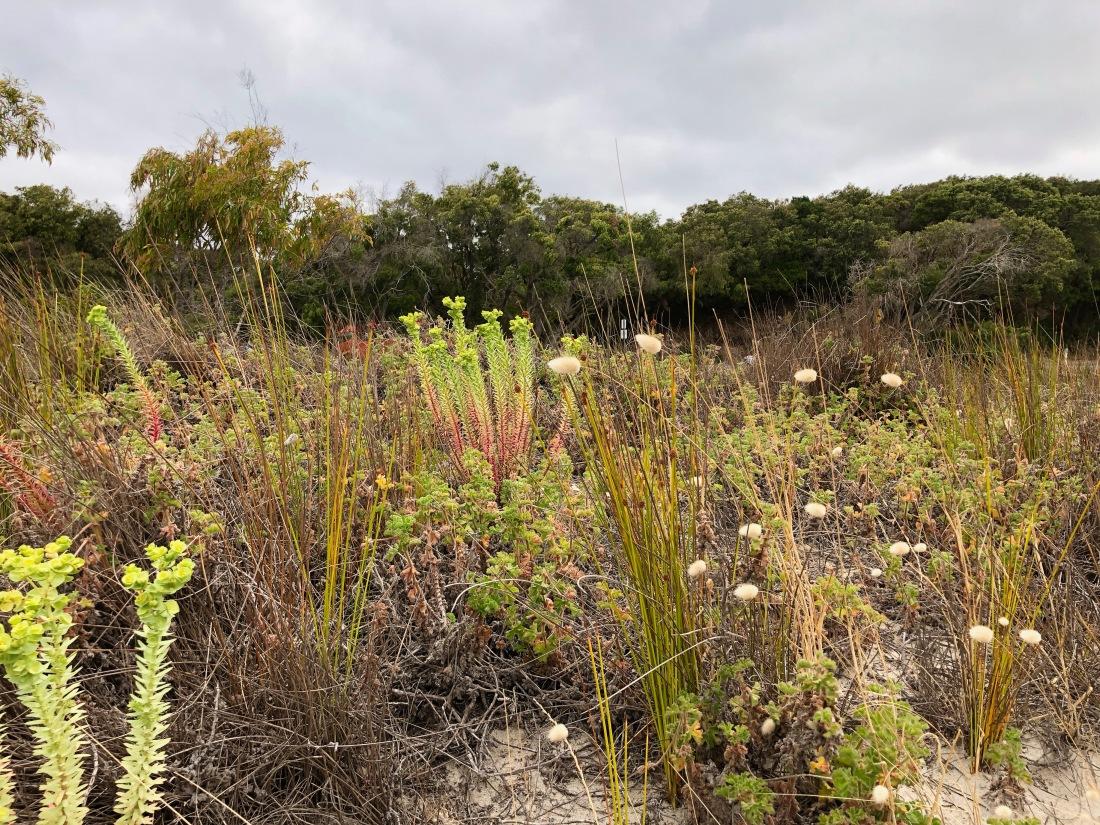 Denmark Ocean Beach vegetation - 1.jpg