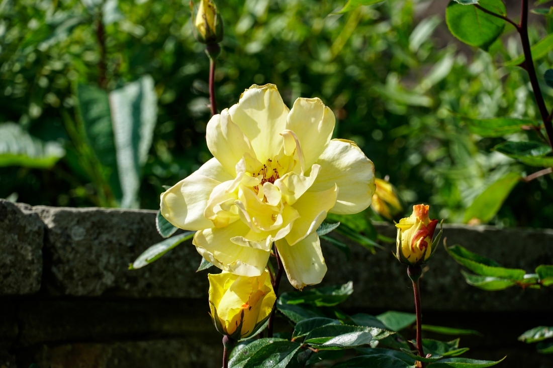 Chartwell flower and buds (1 of 1)